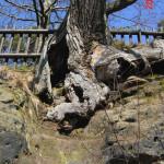 Odumřelé kořeny živého dubu