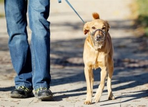 Pes na vodítku a s náhubkem
