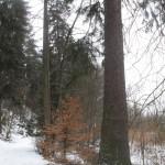 Největší ze smrků - výška 42m, asi 140 let