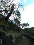 Dub s dožívající podpěrou a vzadu borovice