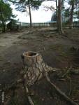 2. uschlá borovice