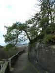 Tato borovice je korunou horní terasy